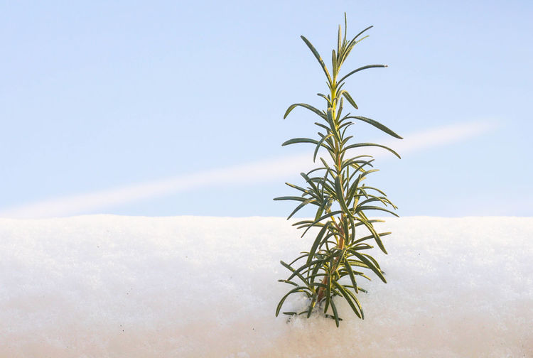 Plant Growth Nature Beauty In Nature No People Leaf Plant Part Tranquility Sky Day Cold Temperature Green Color Close-up Snow Outdoors Winter Land Fragility Focus On Foreground