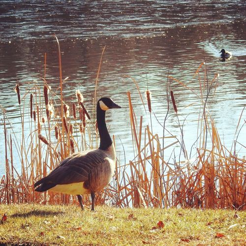 Canadian goose pondside Pond Pond Life Cattail Grass Birds Bird Waterfront Water Sunny Day Nature Nature_collection Nature Photography Pondside Bird Swan Water Swimming Goose Lake Water Bird Sunlight Young Bird Canada Goose Geese Lakeshore Duck Mallard Duck Swimming Animal Freshwater Bird Reed