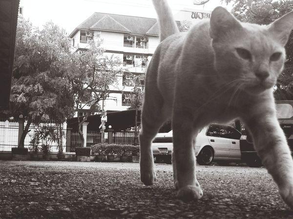 Cat Cat Walking Streetphoto_bw Blackandwhite
