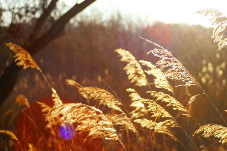 Reed In The Sunshine Nature Sunlight Outdoors Forest Beauty In Nature Leaf Winter No People Tree Close-up Backgrounds Cold Temperature Day Nature Sunshine ☀ Sunlight Grup Of Objects Reeds, Weeds, Marshland, Marsh,