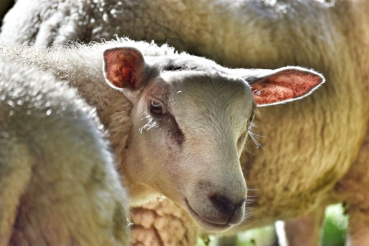you better watch over your shoulder Animal Themes One Animal Animal Head  Domestic Animals Livestock Close-up Zoology Herbivorous Selective Focus Looking At Camera Mammal Domestic Cattle Snout Animal Nose Animal Focus On Foreground Day Sheep 🐑 Sheepshead Wool Suppliers First Eyeem Photo