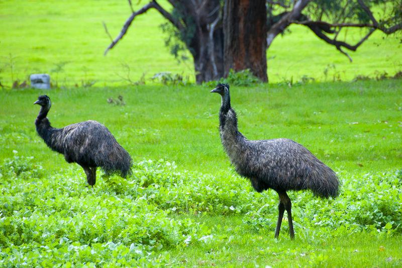 Mallard ducks on a land