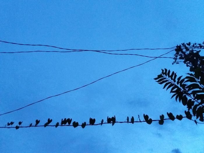 Large Group Of Animals Cable Low Angle View Outdoors Animal Wildlife Flock Of Birds Day Animals In The Wild Animal Themes Blue Sky No People Nature Telephone Line Clear Sky Bird Togetherness Tree Perching Heart Shape Vines Leaves Heartshapedleaf