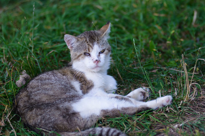 Grey, white cat lying at grass in garden. Animal Animal Themes Cat Cat In Garden Cat In Garden Grass Grey Cat People