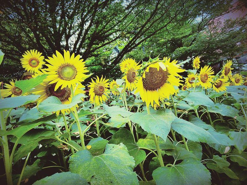 รอรับแสงของวันใหม่ Enjoying Life Hello World สายเที่ยว Thailand Holiday Taking Photos Relaxing ดอกไม้ (Flower) ดอกทานตะวัน.🌻🌻
