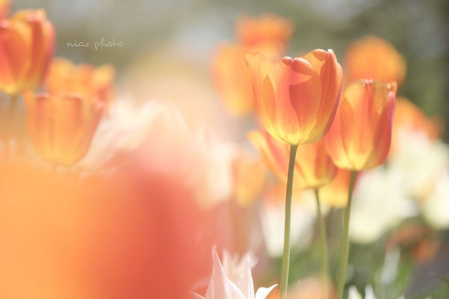 EyeEm Flower EyeEmBestPics Eye4photography  EyeEm Best Shots Flowers Of EyeEm Flower Photography Flowers, Nature And Beauty Flower Collection Flower Collection Flower Head 花 チューリップ Tulips Tulip 前ボケ Bokehphotography Bokeh Photography Bokeh Flower Nature Petal Beauty In Nature Plant No People Close-up Flower Head