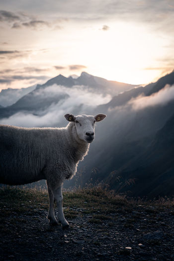 A sheep at sunrise in the austrian alps. Sheep Animal Mammal Livestock Nature Beauty In Nature Austria Austrian Alps Alps Sunrise Moody Sky Backlight Landscape No People
