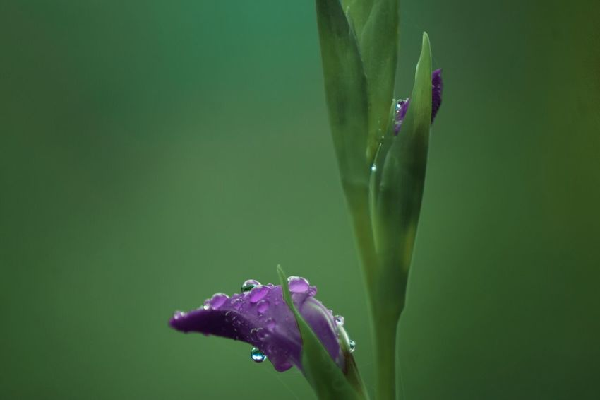 Flower Nature Water Droplets Rainy Day Drop Purple Day Fragility No People Leaf Beauty In Nature Outdoors Freshness Softness Violet Every Flower Is A Soul Simple Quiet Love Springtime Droplets Reflection Dreams Dew Drops Colorful Kerala