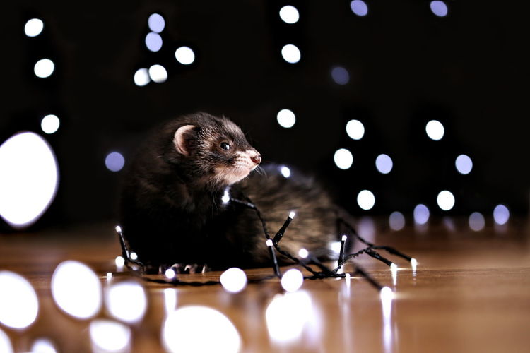 Close-Up Of Rodent On Hardwood Floor In Illuminated Room