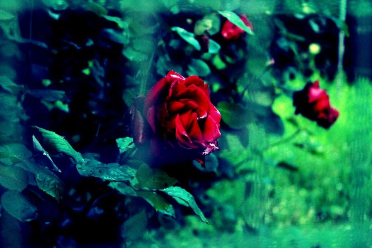 Nature Outside EyeEm Nature Lover Red Rose Taking Photos Flowers