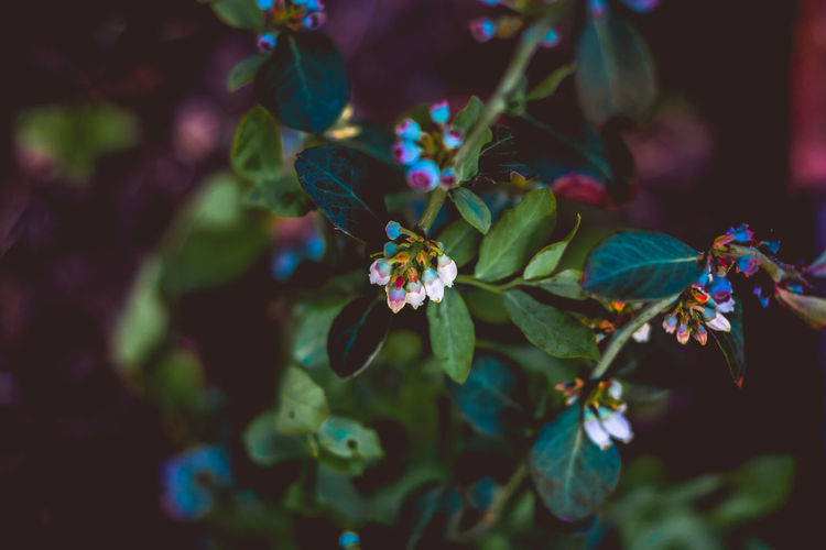 Blueberry Plant Beauty In Nature Berry Berry Fruit Blossom Blue Flowers Blueberries Blueberry Blueberry Plant Close-up Day Flower Flower Head Flowers Fragility Freshness Garden Greenery Growth Leaf Leaves Nature Nature No People Outdoors Plant