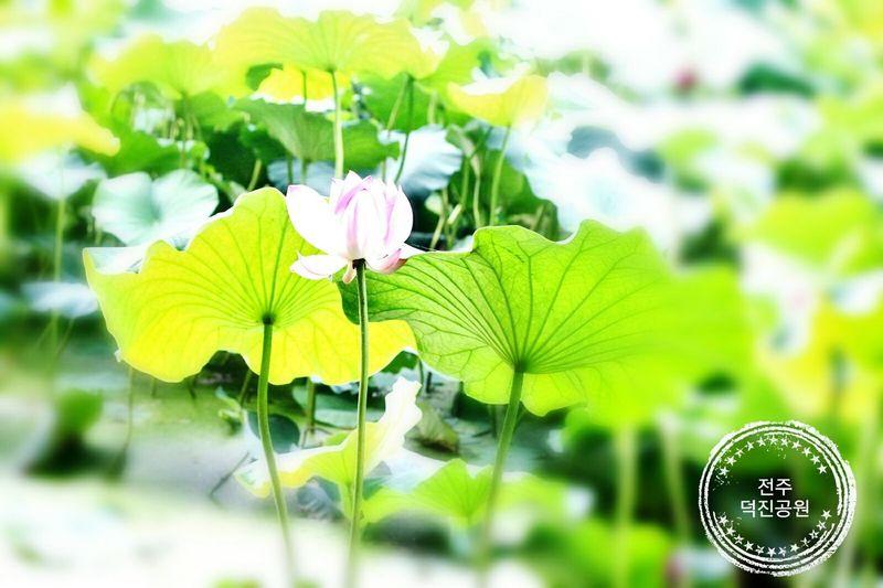 연꽃 덕진공원 전주