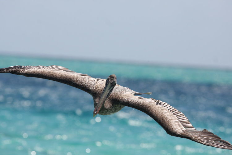 Animal Themes Animal Wildlife Animals In The Wild Beauty In Nature Close-up Day Horizon Over Water Mid Air Nature No People One Animal Outdoors Pelican Sea Sea Life Sky Spread Wings Water