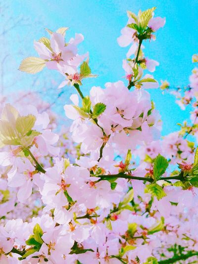 Blooming Flower Nature Beauty In Nature Outdoors Close-up Springtime Day Cherry Blossoms