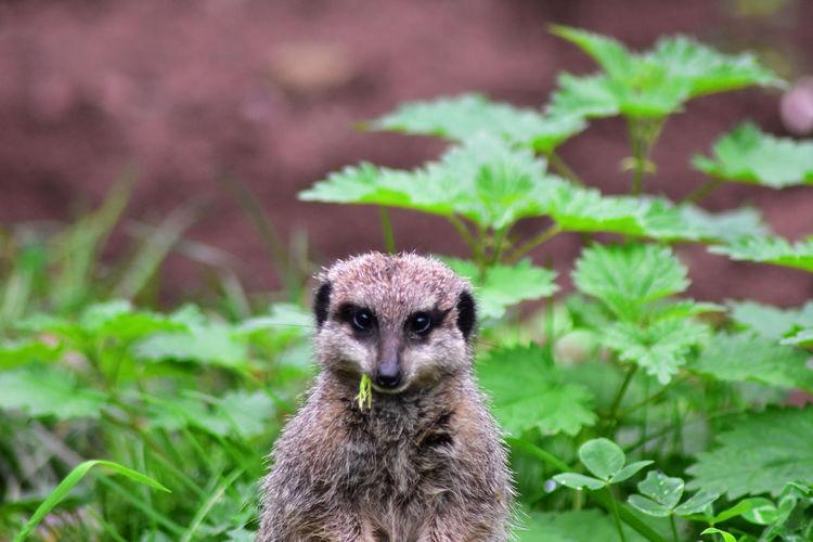 Portrait of meerkat on land chewing grass