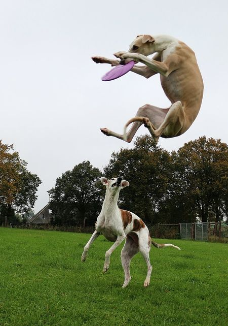 two funny galgos playing with a frissbee in the garden Frisbee Funny Galgo Galgo Español. Action Active Animal Themes Catching Day Dog Field Flying Galgo Espanol Galgoespañol Grass Jumping Mammal Nature Outdoors Pair Pets Sighthound Sport Tree Windhund Be. Ready.