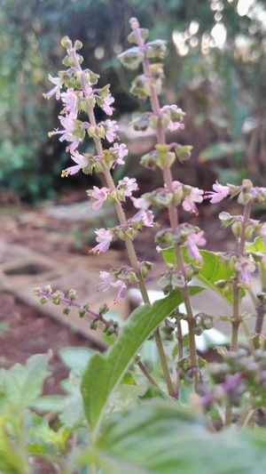EyeEm Nature Lover Eyeem Plants Tulsi Leaf Tulsi Flowers Nature_collection Deceptively Simple Ayurveda Incredible India Basil Plant