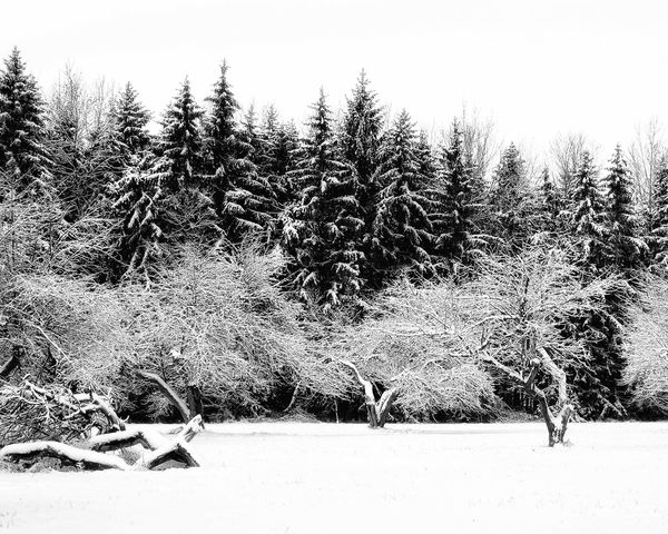Frozen scene Forest Pine Trees Black And White Snow Winter Cold Temperature Nature Tree Tranquility Tranquil Scene Outdoors Beauty In Nature Landscape Field Day No People Scenics
