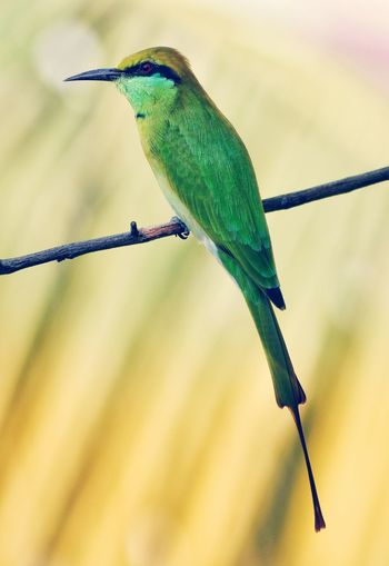 green bee eater Green Bee Eater Green Bee-eater Green Bee Eater, Perching Bird Colored Background Animal Themes Close-up Green Color This Is Natural Beauty