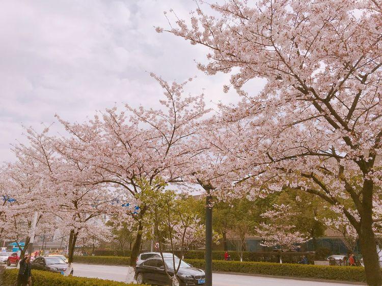 Jiming Temple,March,Sakura. (Nanjing) Jiming Temple Nanjing Sakura Pink Nature China Street March Spring Flowers