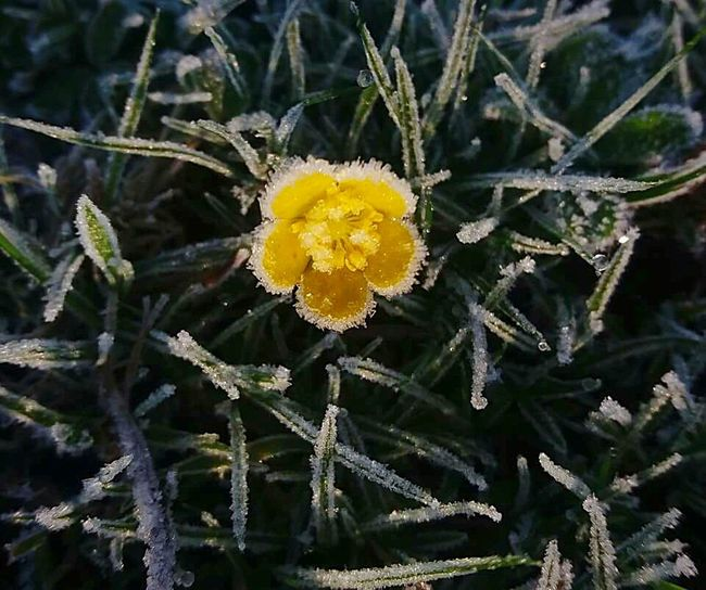 frozen flower Yellow Nature Growth Winter Plant Cold Temperature Beauty In Nature Butterflower