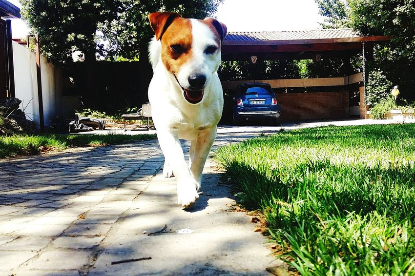 The Jack Russell - do you remember MILO ?the Dog of the Mask the film? This dog is totally CRAZY 😁✌🐶❤ Dog Pets Domestic Animals One Animal Sunlight Outdoors Animal Themes Day Shadow Mammal Grass Tree No People Nature Beagle Crazydog