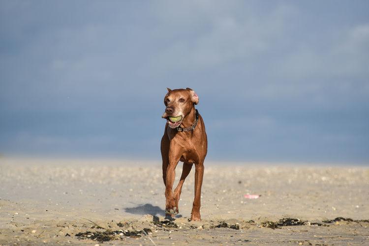 Dog runnin on sand