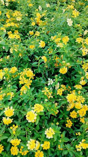 Ornamental Plants Flower Flower And Leaves Yellow Yellow Flower Yellow Color Yellow Tones Nature Color Beauty Of Nature Beautiful Nature Colorful Flowers Gardening Close-up Gardening Flower Photography Flower Collection Flowering Plants