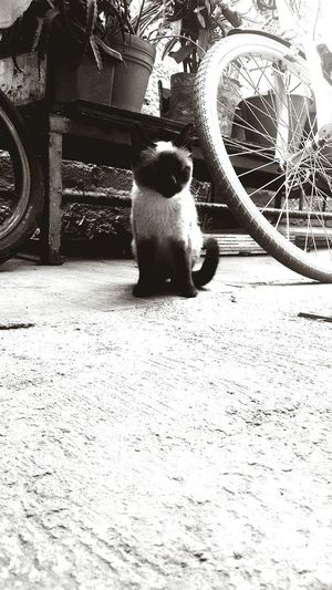 Bbycat Blackandwhite
