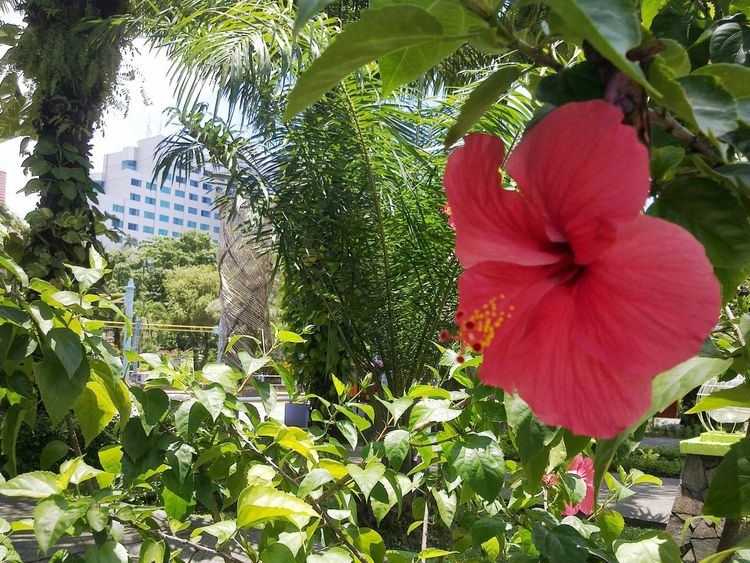 ..red Beauty, a Flower to Dazzle your eyes. Balikpapan