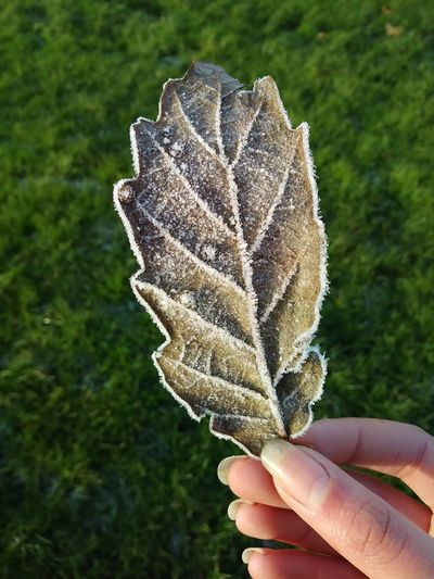 frozen leaf no filter Human Hand Human Body Part Holding Focus On Foreground