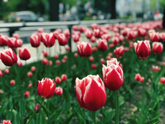 Tulip in Sapporo Park EyeEm Selects Red Plant Freshness Growth Flowering Plant Flower Focus On Foreground Close-up Beauty In Nature Day No People Nature Fragility Vulnerability  Flower Head Petal Field Inflorescence Tulip