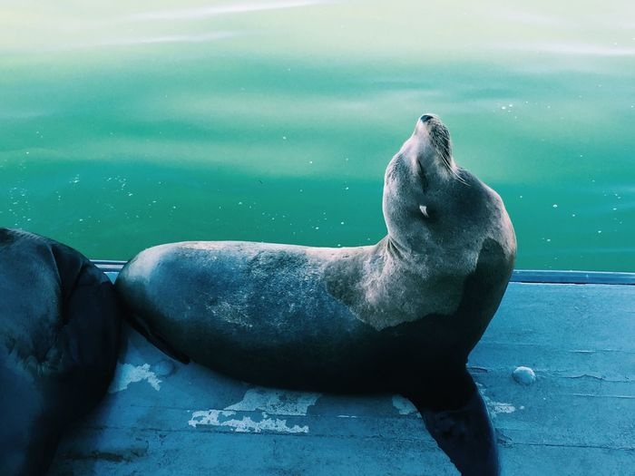 Animal Themes Animal Wildlife Animals In The Wild Aquatic Mammal Close-up Day Mammal Nature No People One Animal Outdoors Relaxation Sea Sea Life Sea Lion Seal Seal - Animal Water