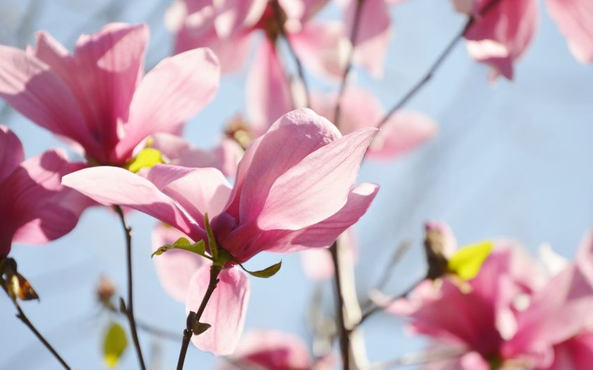 Blooming magnolia Beauty In Nature Blooming Blossom Flower Flower Head Fragility Freshness Growth In Bloom Magnolia Flower In Bloom Petal Pink Color Plant Selective Focus Stem