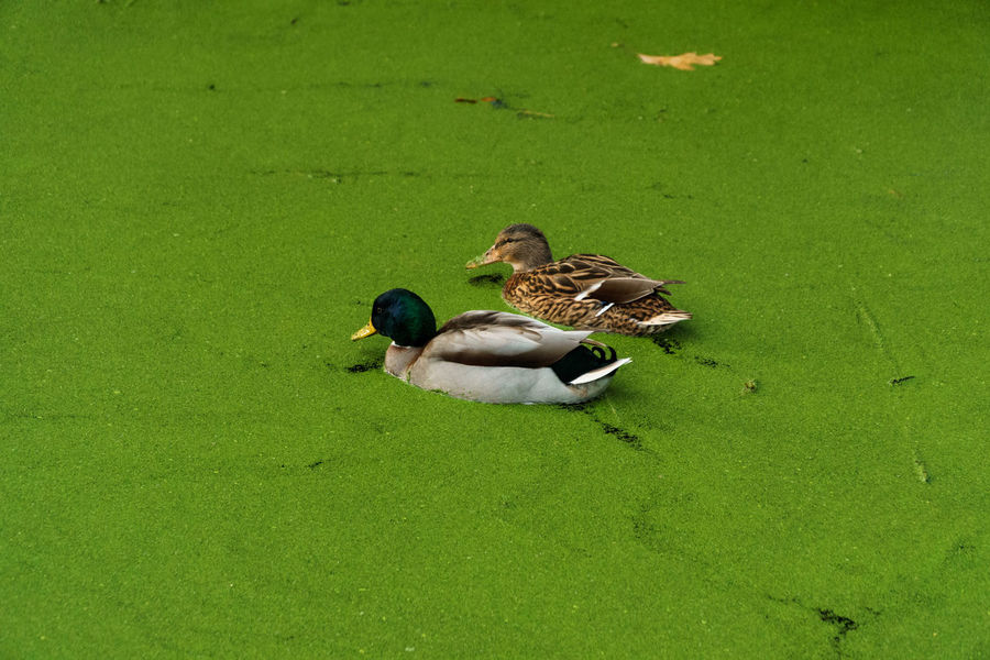 Duck couple on green Alg Algae Anas Platyrhynchos Animal Themes Animal Wildlife Animals In The Wild Beauty In Nature Bird Couple Day Duck Green Color Mallard Mallard Duck In Water Mallard Ducks Nature No People Outdoors Togetherness Wilde Eend