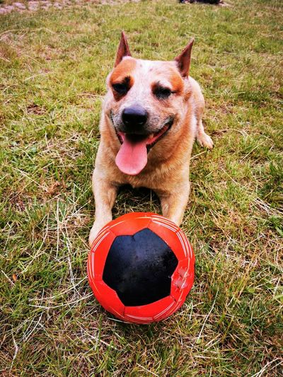 Portrait of a dog with ball on field