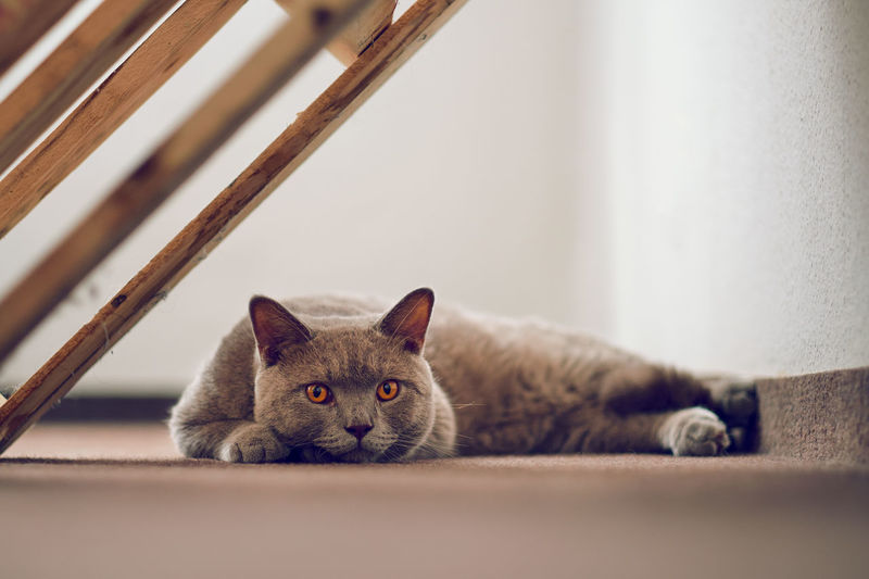 Close-up of a cat lying on floor