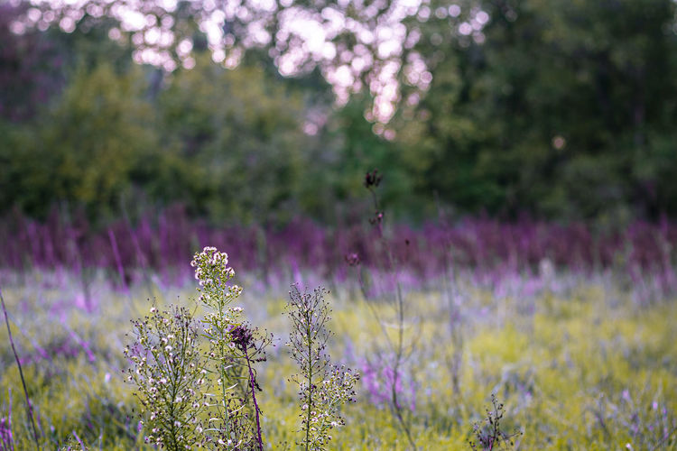 View of lavender flowers on field