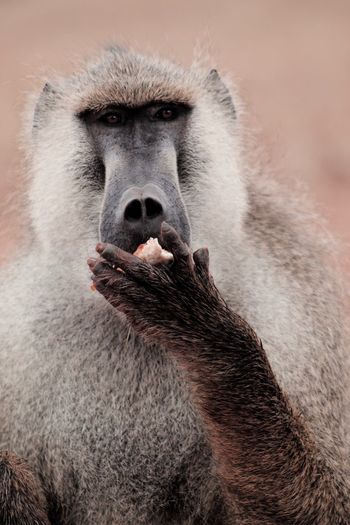 Close-up portrait of baboon