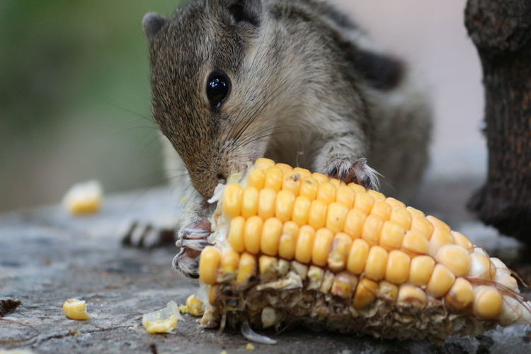 Close-up of squirrel eating corn