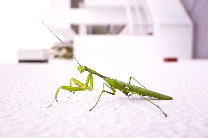 Everyday Life Animal Themes Close-up Focus On Foreground Green Color Insect Mantis Mantis Religiosa One Animal
