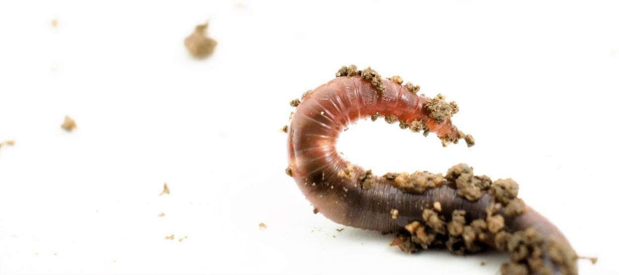 earth worm, studio shot Earth Worm Grass Land Dirty Earth Worms Ecology Environment Food Chain Garden Ground Rooots Soil Studio Shot Worm Worm Bed