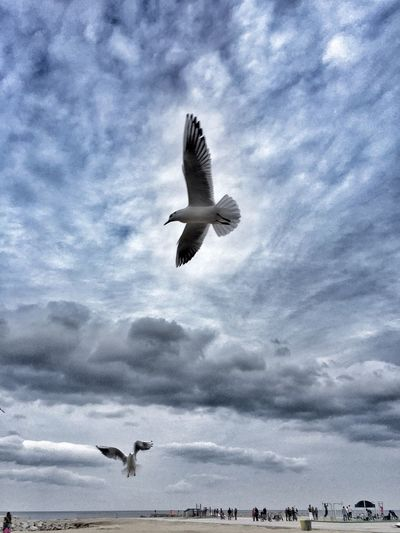 Seagulls Gaviota Birds