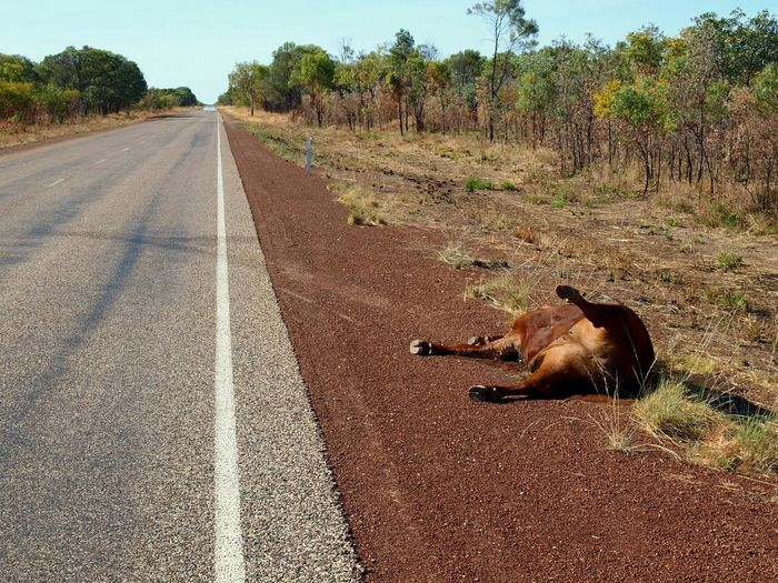 Walk This Way but please be careful when you cross the street. Otherwise you might end as Roadkill in the Outback . NEM BadKarma Traveling Streamzoofamily Bad Day Accident Getting Inspired The Street Photographer - 2015 EyeEm Awards