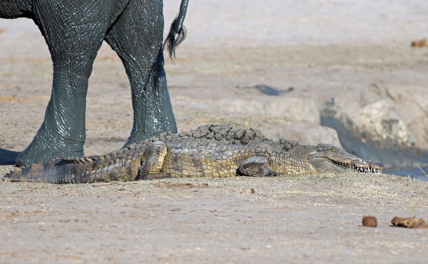 Crocodile Basking with an elephant in the background Animal Leg Animal Themes Animal Wildlife Animals In The Wild Crocodile Day Hwange National Park Low Section Nature One Animal Outdoors Reptile Wildlife Photography