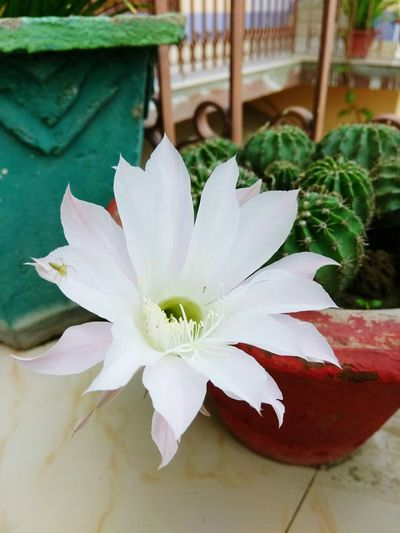 World Photography Day Cuctus Flower Blooming White Color