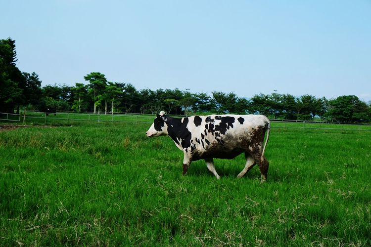 Cow Outdoors