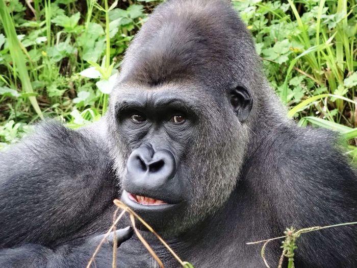 Portrait of gorilla in forest