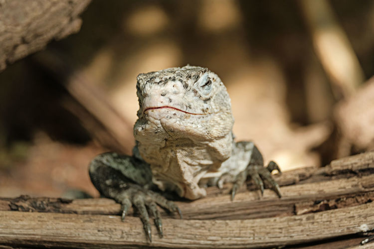 Animal Themes Animal Animal Wildlife Animals In The Wild Reptile One Animal Lizard Vertebrate Wood - Material No People Close-up Animal Body Part Nature Outdoors Day Selective Focus Iguana Portrait Tree Bearded Dragon Animal Head  Animal Scale Aggression  Animal Eye Wicket