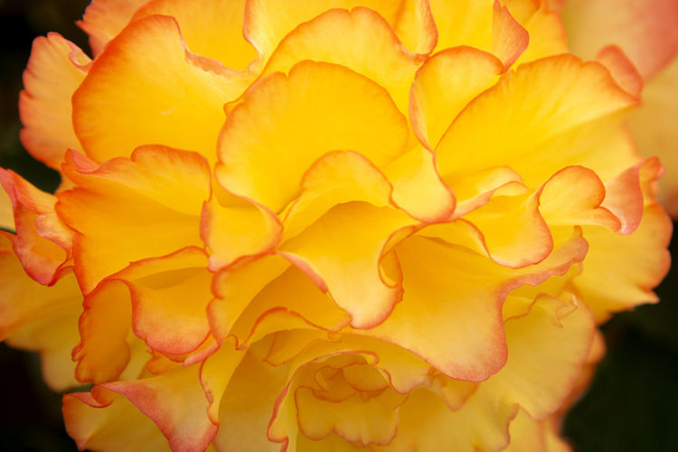 Close-up of yellow rose plant